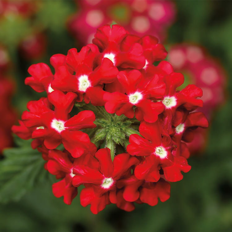 Obsession Cascade Red with Eye trailing verbena seeds
