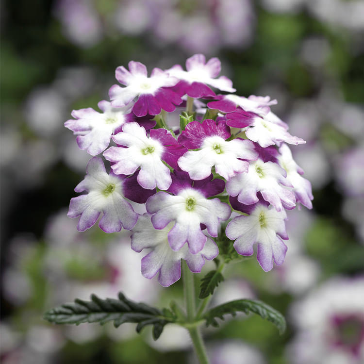 Osession Twister Purple verbena seeds