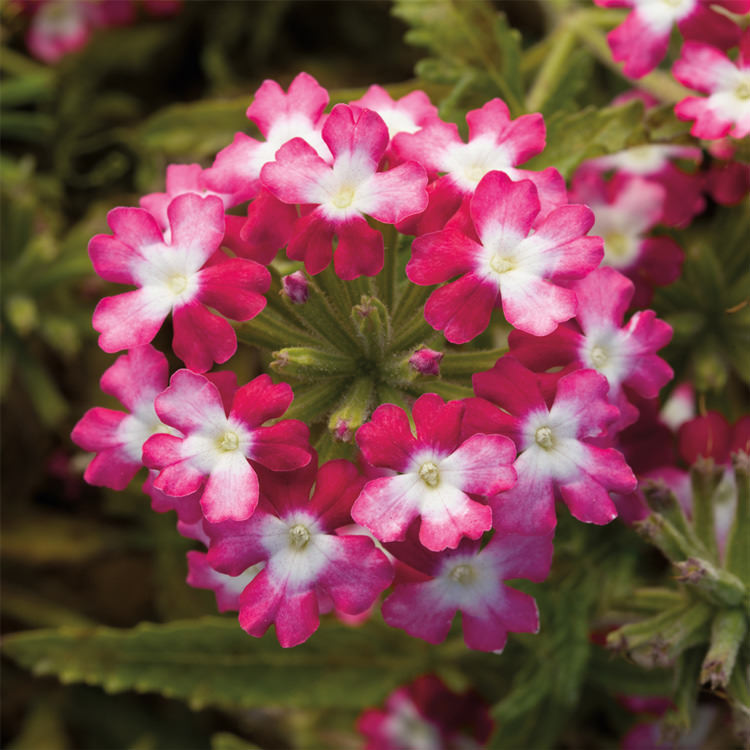 Verbena verbena seeds 12 verbenas annual flower seeds obsession twister red verbena seeds mightylinksfo