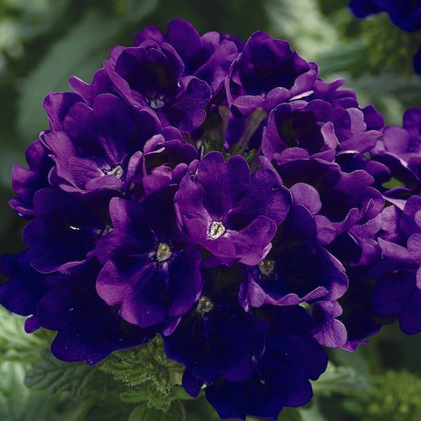 Verbena Tuscany Blue
