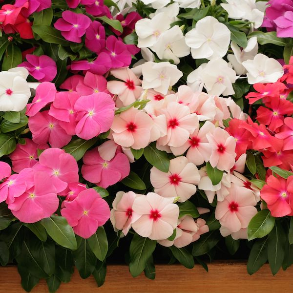 Vinca Cobra Heat Elite Mix - annual flower seeds