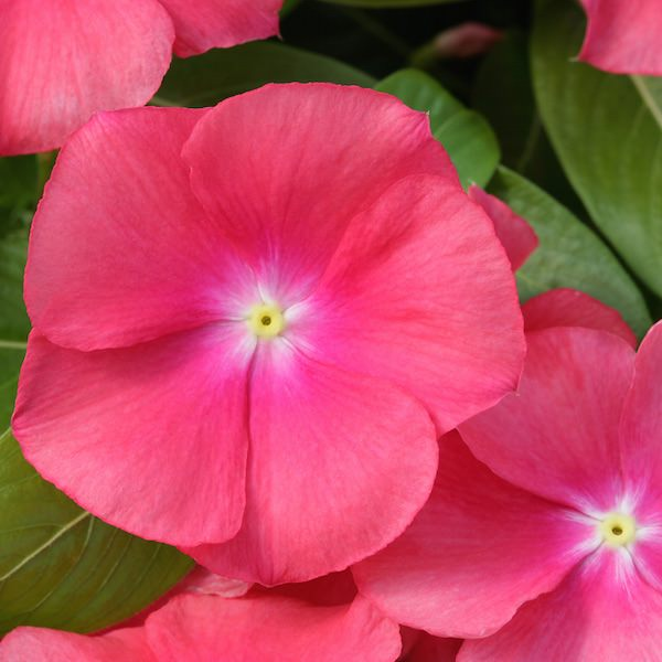 Vinca Cobra Heat Elite Passion Fruit - annual flower seeds