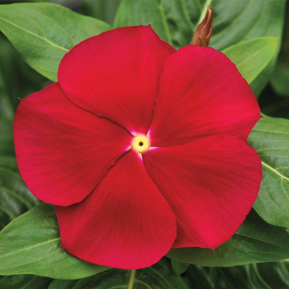 Vinca Cora Red seeds