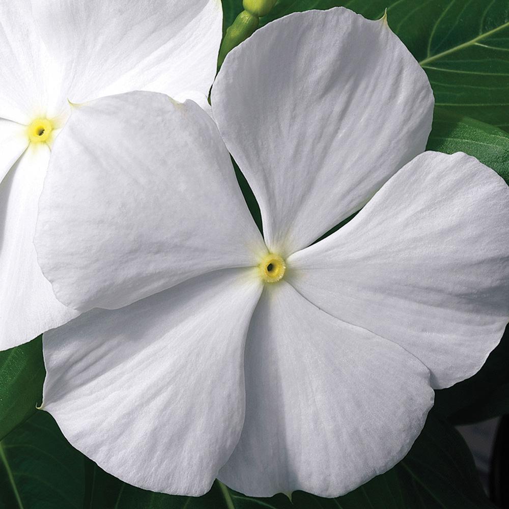 Vinca flowers - Cora White - annual flower seeds