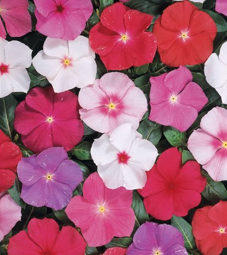 Vinca seeds - Heatwave Mix