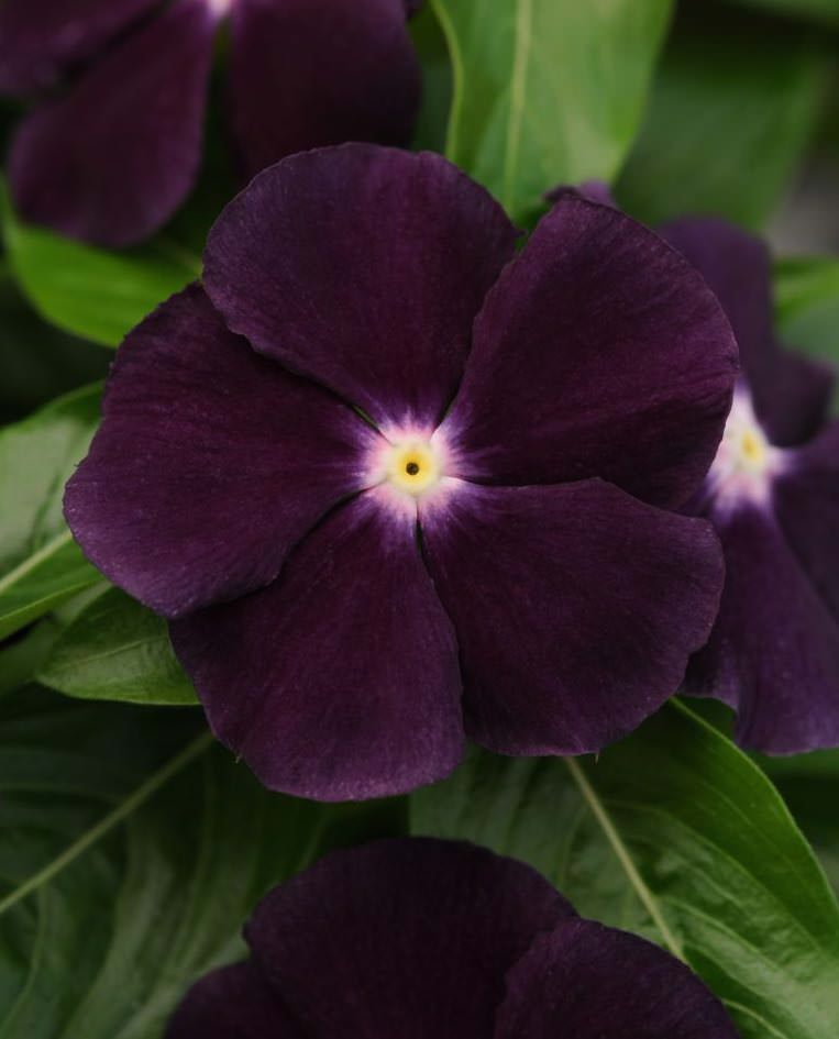Vinca seeds - Jams 'N Jellies Blackberry