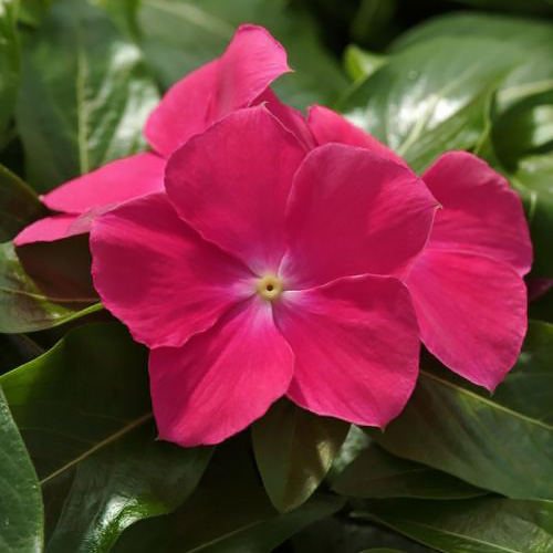 Mediterranean Hot Rose vinca