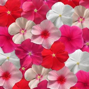 Vinca flowers - Mediterranean Mix XP - annual flower seeds