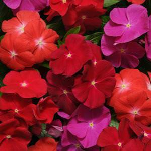 Vinca flowers - Pacifica Bold Mix