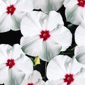 Vinca flowers - Pacifica Polka Dot