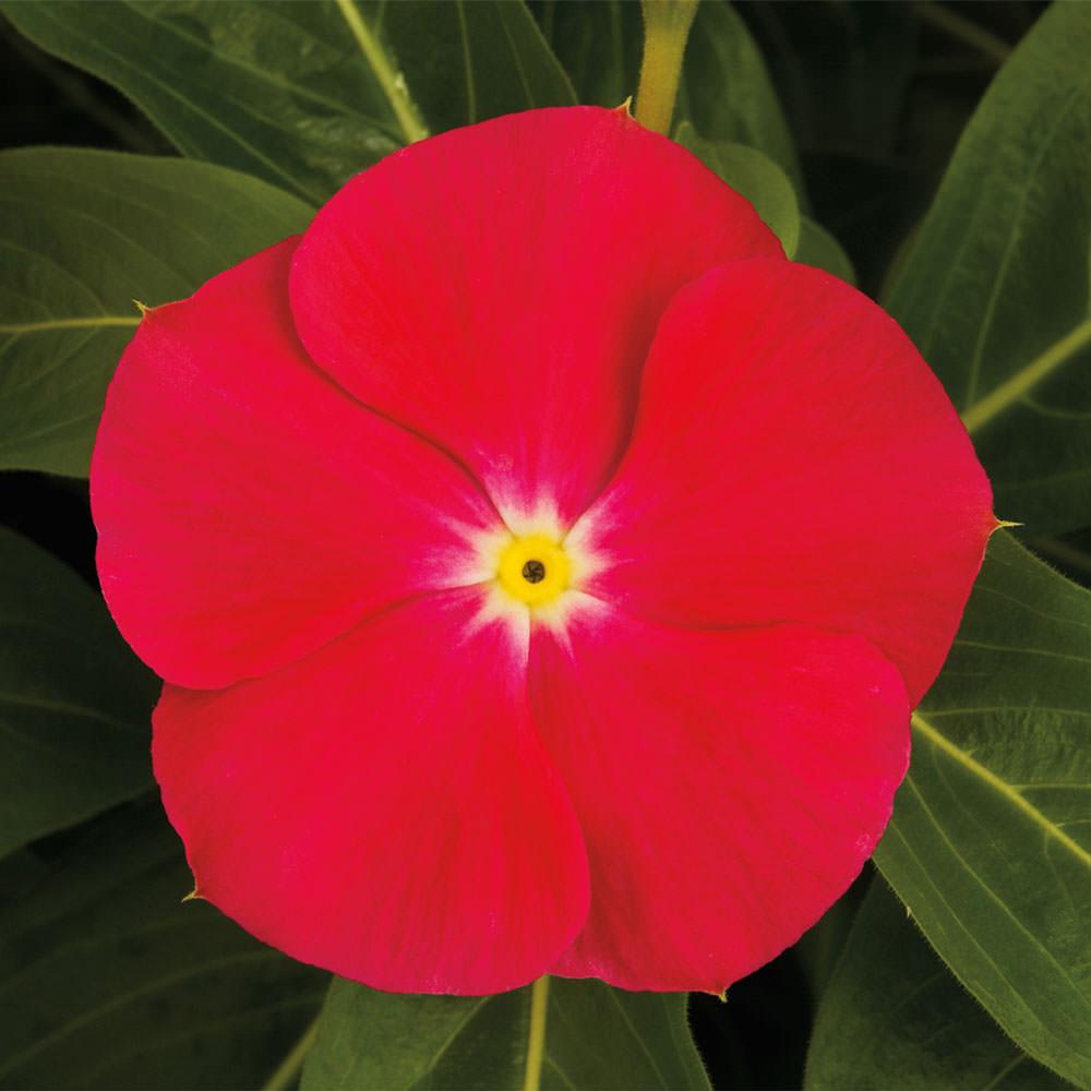 Vinca seeds - SunStorm Bright Red