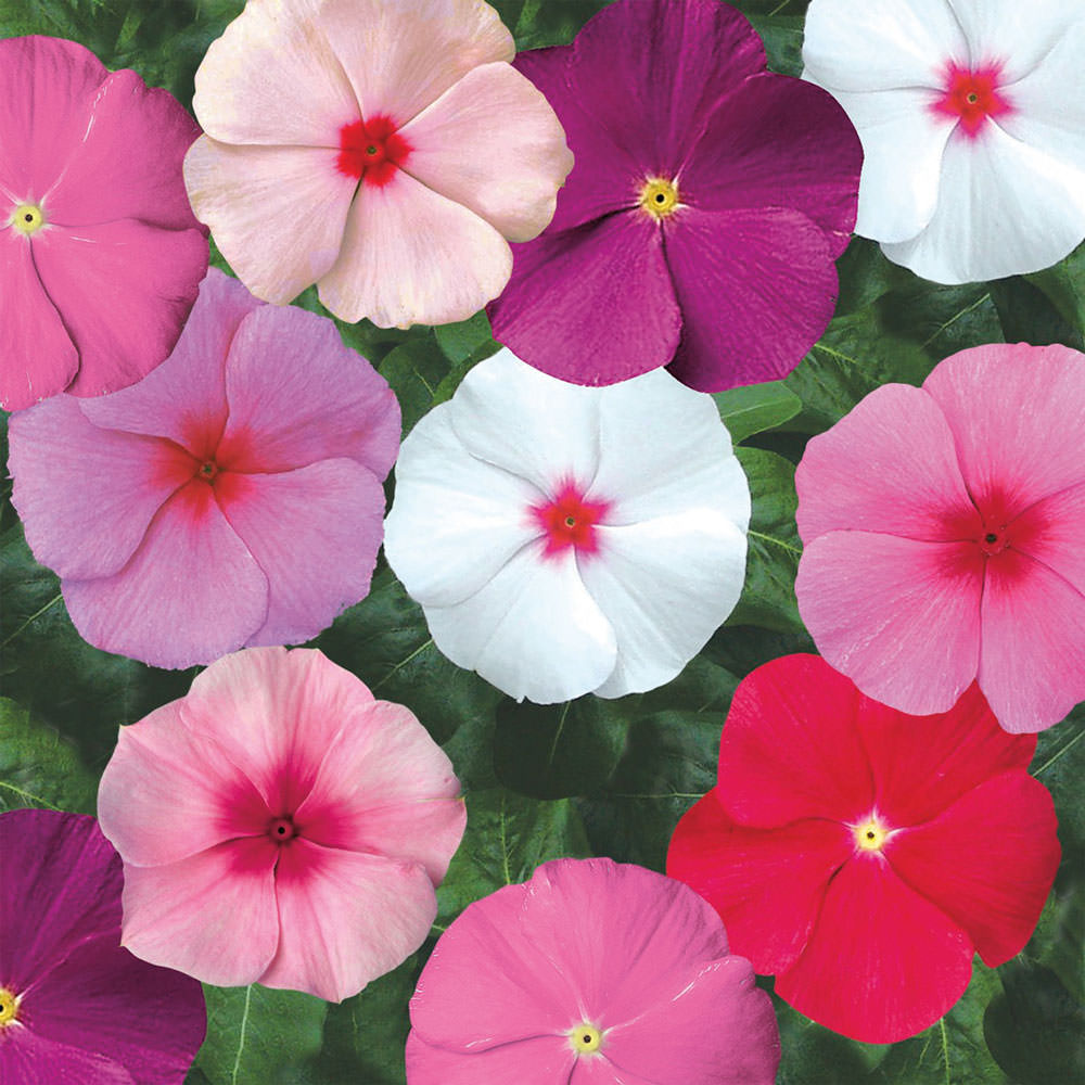 Vinca Seeds Madagascar Periwinkle Annual Flower Seeds