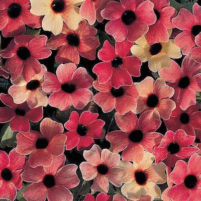 Flowering vine seeds swallowtail garden seeds asarina seeds black eyed susan vine mightylinksfo