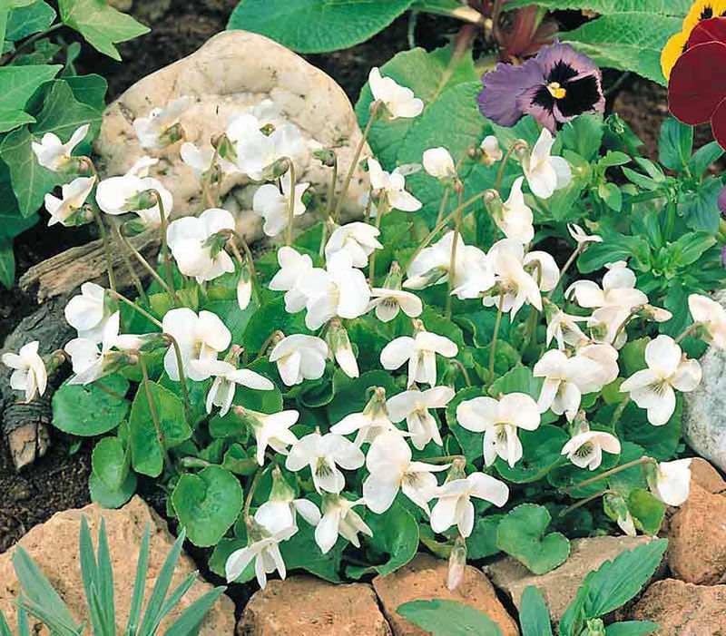 Sweet Violets Reine de Neiges - Viola odorata