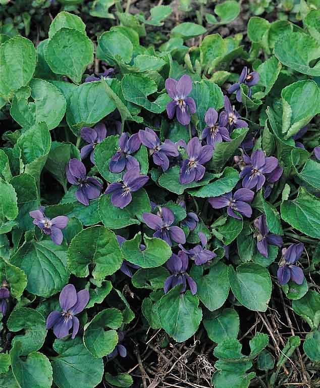 Sweet Violet The Czar - Viola odorata