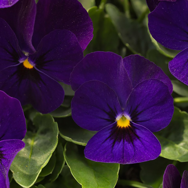 Viola Admire Deep Blue flowers