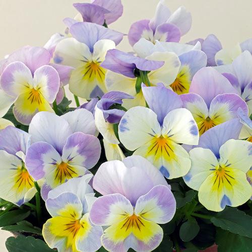 Viola Caramel Angelo flowers