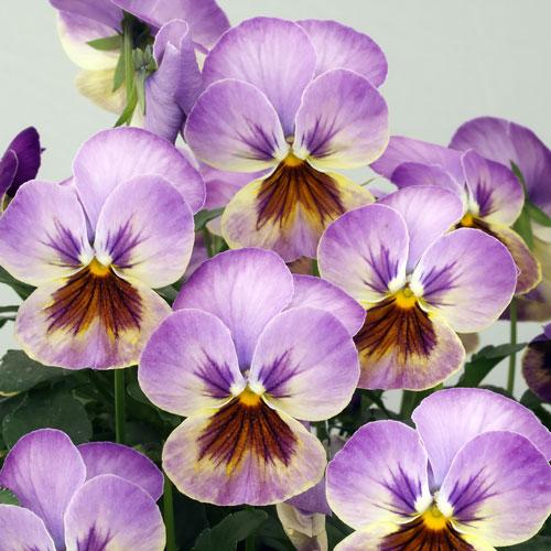 Viola Caramel Pastel Lilac flowers