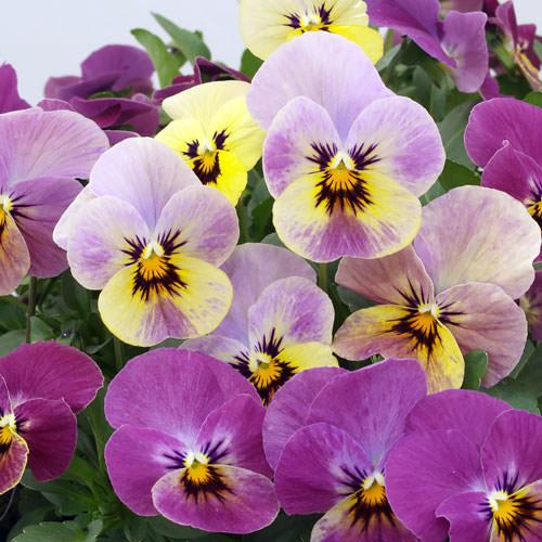 Viola Caramel Rose Shades flowers