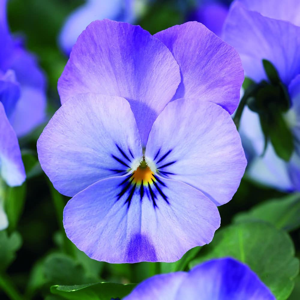 Viola Endurio Sky Blue Martien flowers