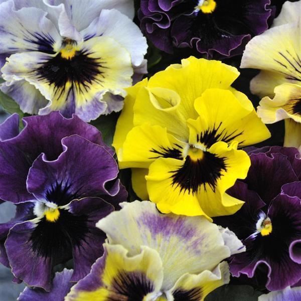 Viola Frizzle Sizzle Mini Mixture