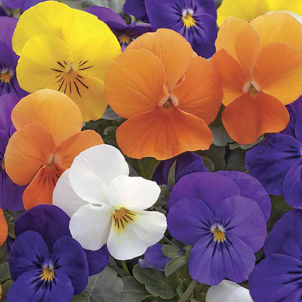 Viola Penny All Seasons Mix flowers
