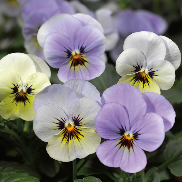 Viola Penny Azure Dawn flowers