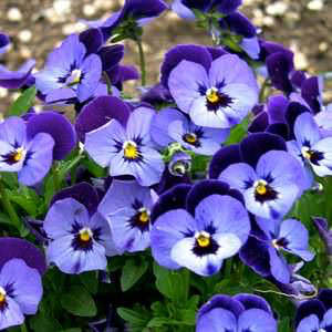 Viola Penny Denim Jump-Up flowers