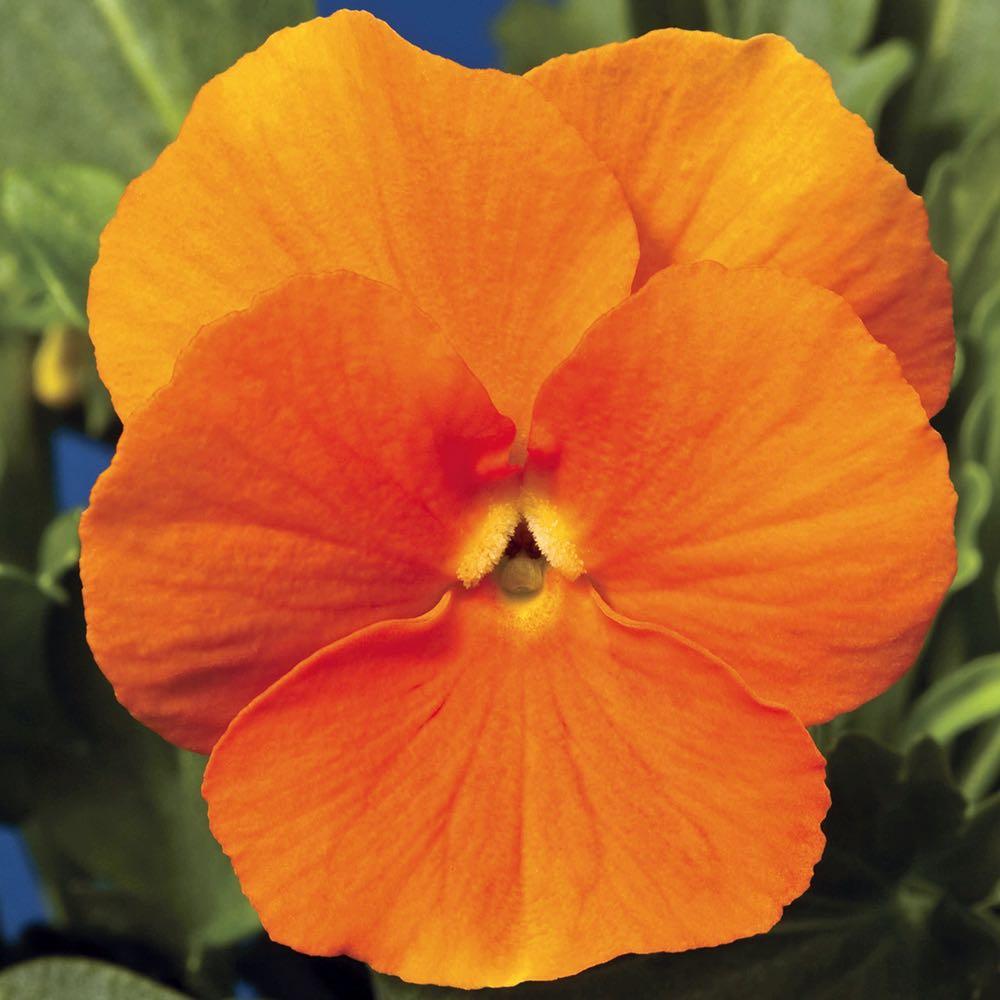 Viola Penny Orange flowers