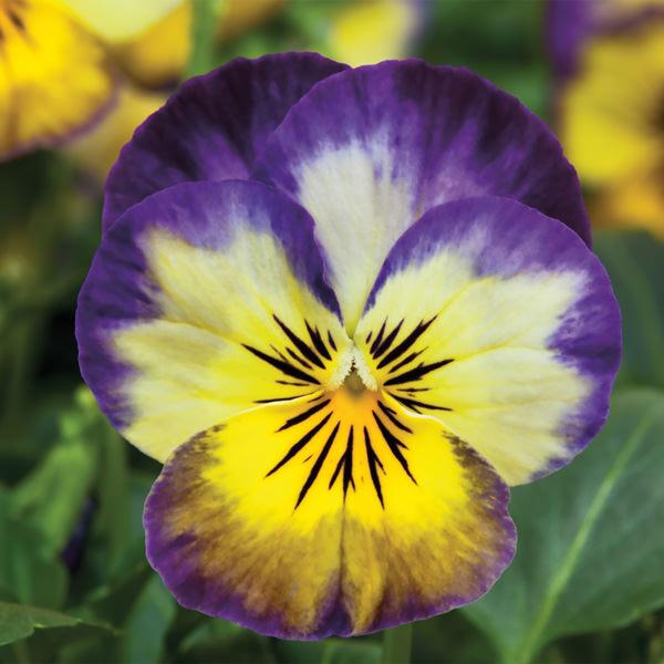 Viola Penny Primrose Picotee flowers
