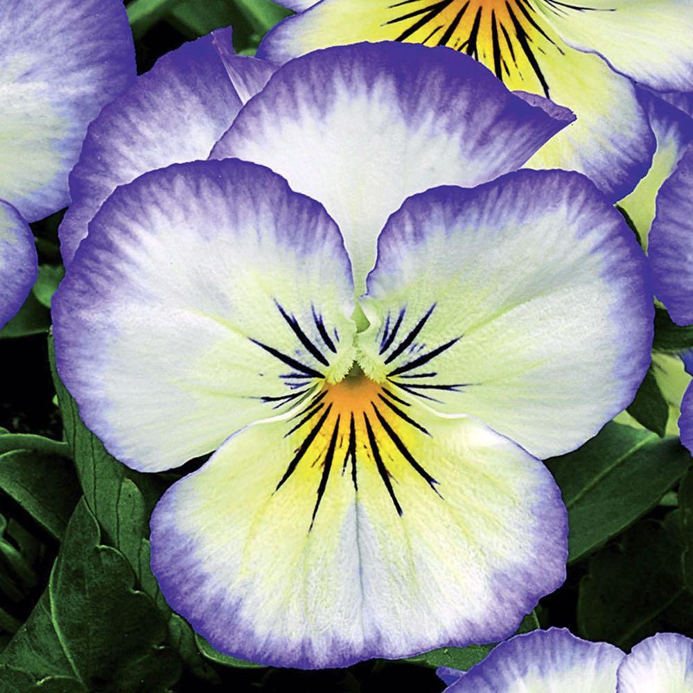 Viola Penny Purple Picotee flowers