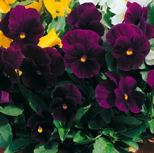 Viola Penny Violet flowers
