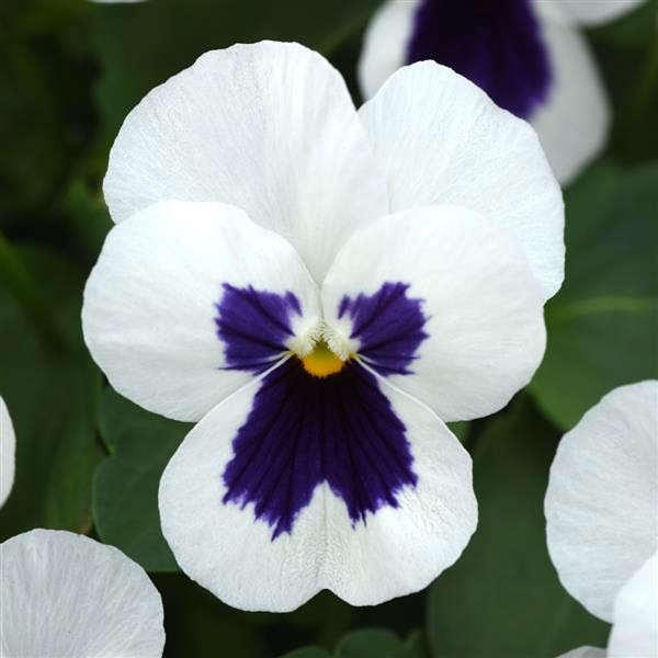 Viola Quicktime White Blotch flowers