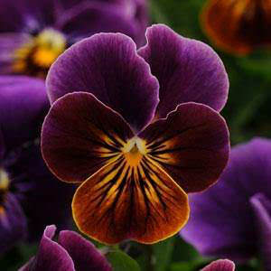 Viola Sorbet Antique Shades flowers