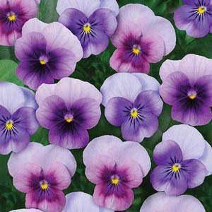 Viola Sorbet Beaconberry flowers