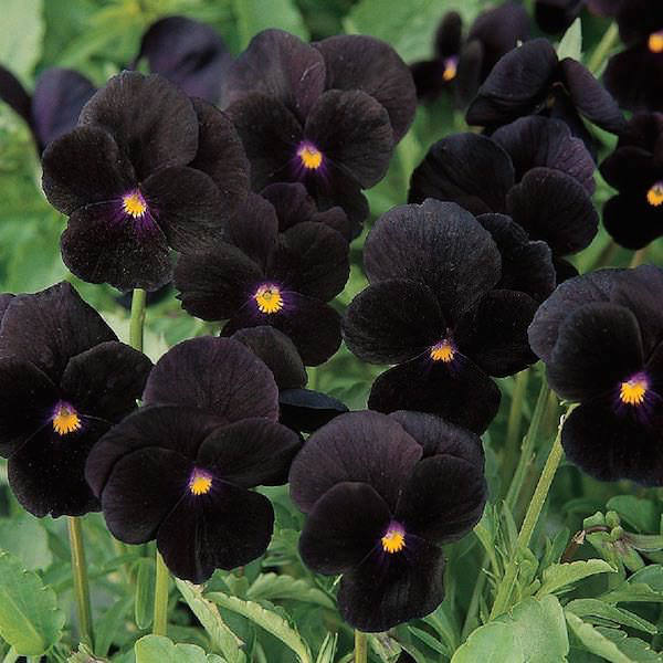 Viola Sorbet Black Delight flowers