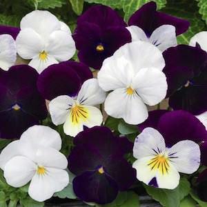 Viola Sorbet Blackberry Sundae Mix flowers