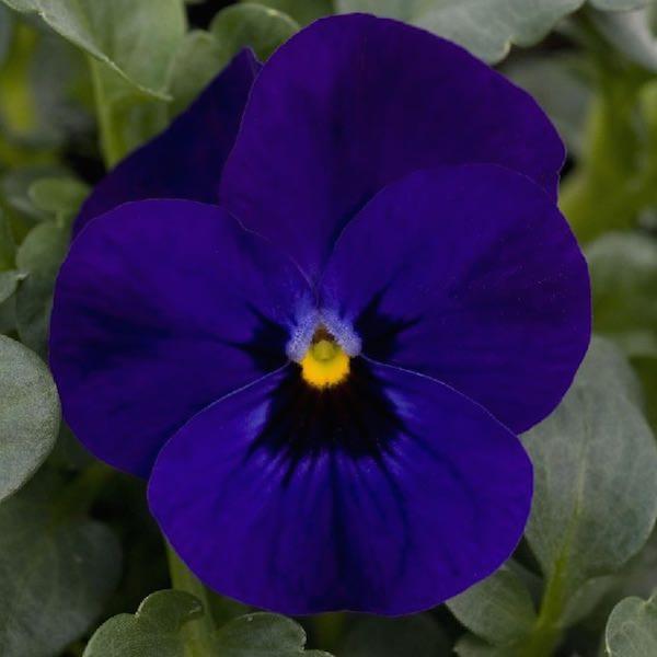 Viola Sorbet Blue Blotch annual flower garden seed