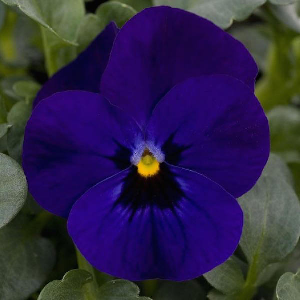 Viola Sorbet Blue Blotch
