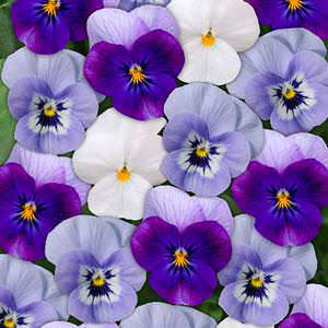 Viola Sorbet Blueberry Frost Mix flowers