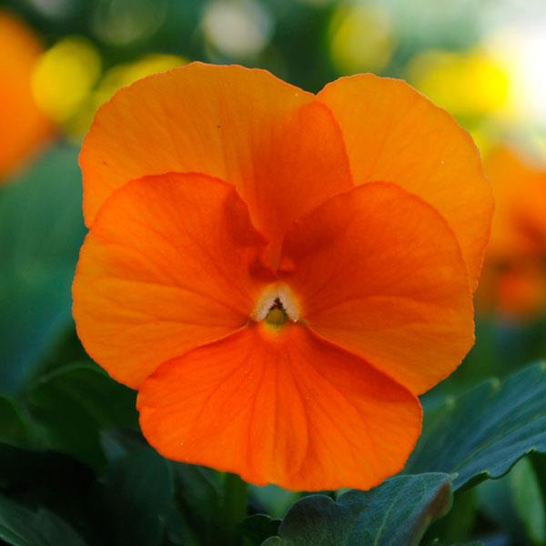 Sorbet Deep Orange viola seeds