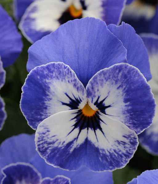 Viola Sorbet Delft Blue flowers