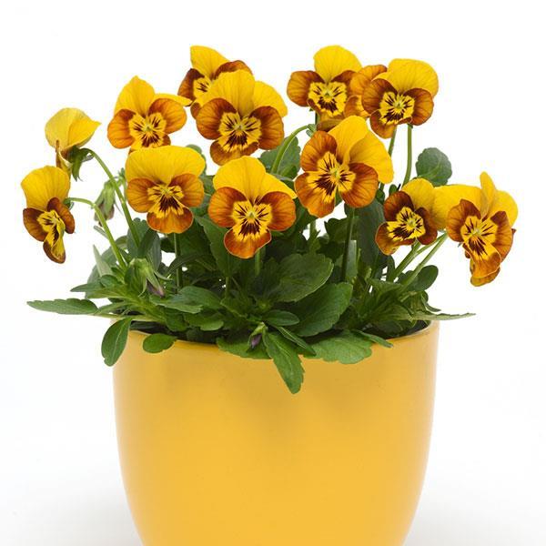Viola Sorbet Honeybee flower seeds