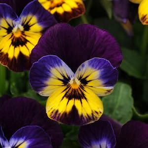 Viola Sorbet Midnight Glow flowers