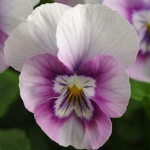 Viola Sorbet Pink Halo flowers