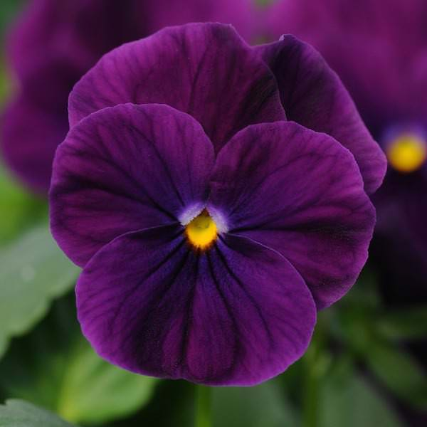 Viola Sorbet Purple annual flower garden seed