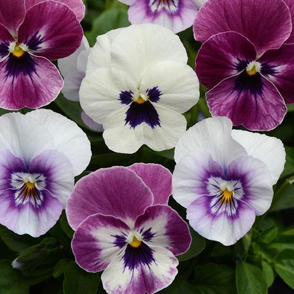 Viola Sorbet Raspberry Sundae Mix flowers