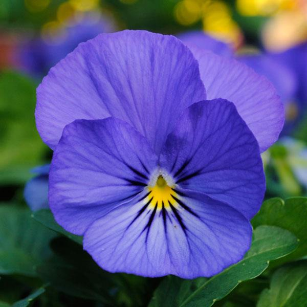 Sorbet True Blue viola seeds