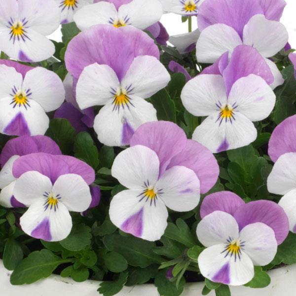 Sorbet Pink Wing viola seeds