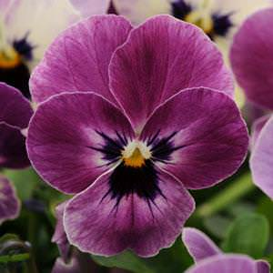 Viola Sorbet Raspberry flowers